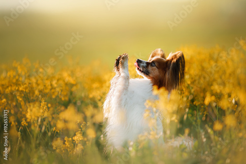 La pose en embrasure Papillon Dog in the grass. Papillon.