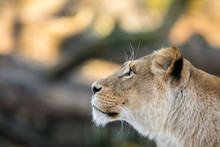 Female Lion, Panthera Leo, Lio...