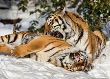 Two Siberian Tiger, Panthera T...