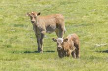 Two Beautiful Brown Calves At ...
