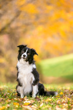 A Border Collie Dog Outdoors I...