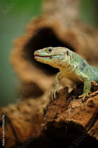 Photo  Ocellated lizard standing on tree root