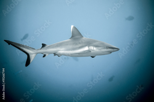 Fotografie, Obraz  Close up of white tip reef shark from the tropical Maldives