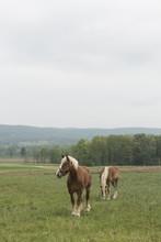 Palamino Horses In A Field