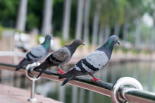 Close Up Feral Pigeons Perch On The Railing Beside The Pond In The Park Of Natural Background.