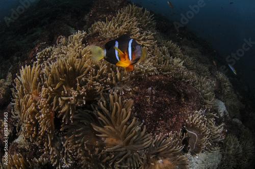 Fotografie, Tablou  Anemone Fish Swimming in Blue Waters of Japan