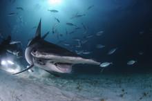 Hammerhead Shark Swimming Amon...