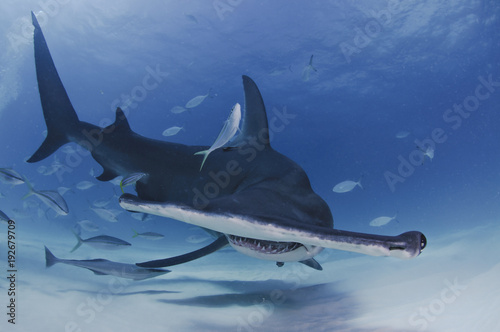 Obraz Hammerhead Shark Facing towards You in Clear Waters of Bahamas - fototapety do salonu