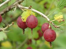 Fresh Berries Of Gooseberry On...