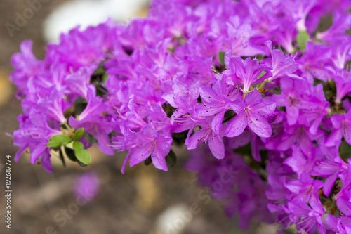 In de dag Azalea Lila Blüten einer Azalee im Garten im Frühling