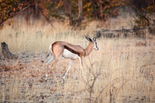 Antelope Antilope che corre