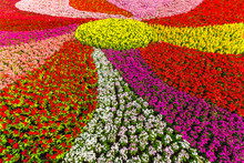 Top View Of Zinnia Flowers , C...