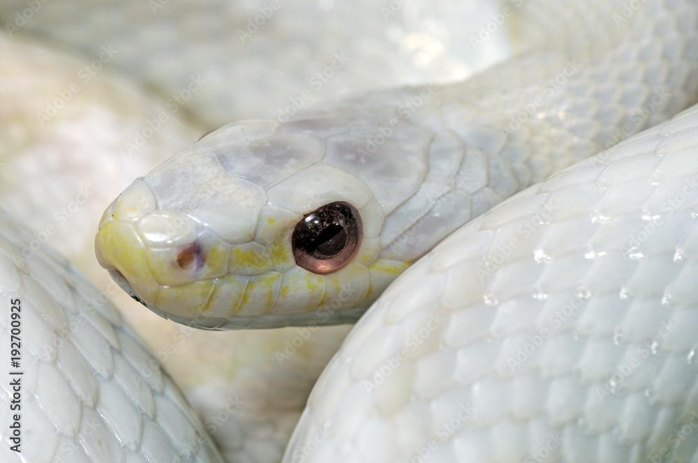 Albino-Kornnatter ( Pantherophis guttatus) - white Corn snake