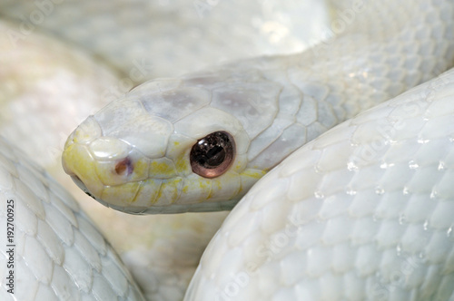 Obraz na plátně Albino-Kornnatter ( Pantherophis guttatus) - white Corn snake