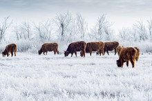 A Herd Of Cows In The Kalmyk S...