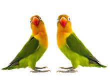 Two Fischeri Lovebird
