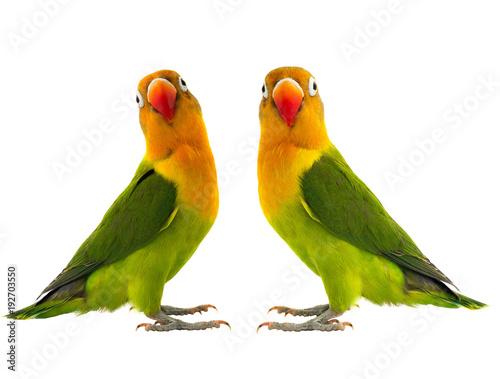 Photo  two fischeri lovebird