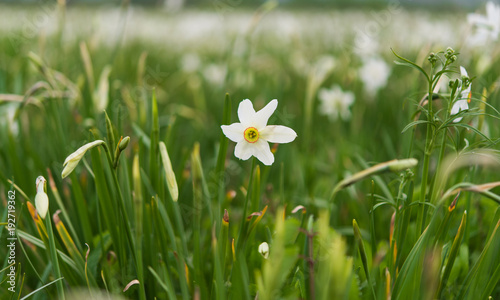 Papiers peints Narcisse field with daffodils blooming in spring