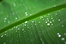 Banana Leaf And Rain Drops Sui...