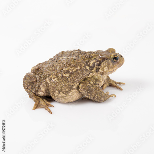 Foto op Canvas Kikker Common toad or European toad, Bufo bufo, in front of white background.