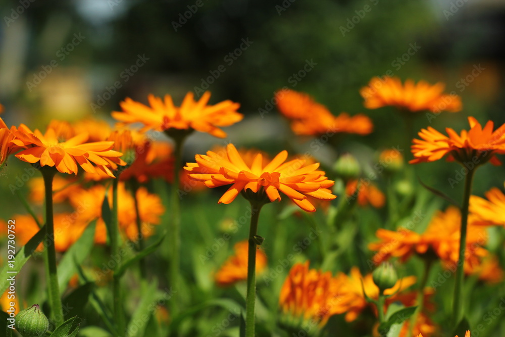 Fototapety, obrazy: Beautiful orange marigold (calendula) closeup