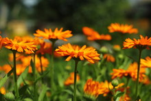 Beautiful Orange Marigold (calendula) Closeup