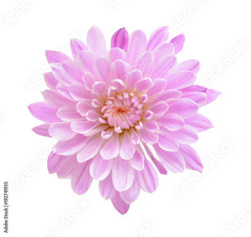 Leinwand Poster Pink Chrysanthemum Flower Isolated on White Background