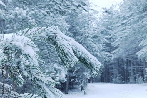 Fényképezés  Snowy Needles Pine Tree in Etna Park, Sicily