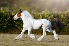 American Pinto Horse Running On The Field In Summer Background
