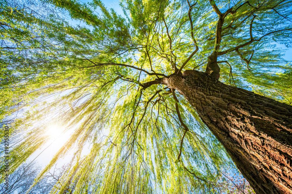 Echte Trauerweide im Frühling bei Sonnenschein