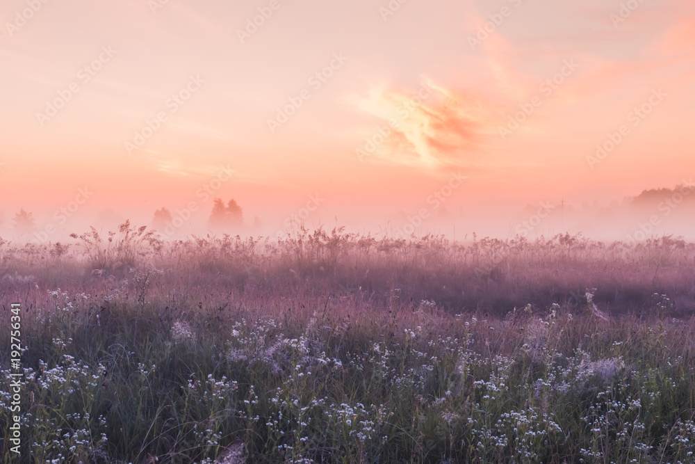 Fototapeta sunrise field of blooming pink meadow flowers