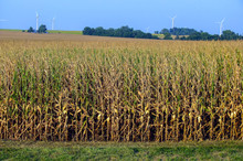 Corn Field And Wind Farm In The Background