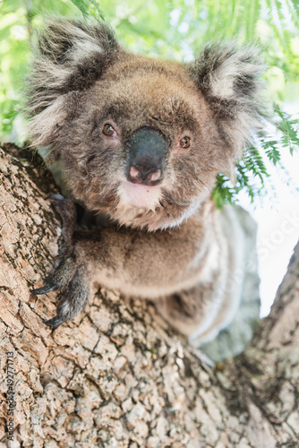 Foto op Canvas Koala Close up of koala, iconic native Australian marsupial animal on tree