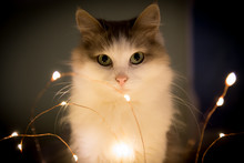 Cat Sitting With Festive Electric Garland On Dark Background
