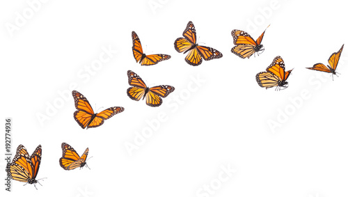 Deurstickers Vlinder Monarch Butterfly Flying Isolated on White