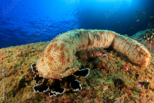 Poster Sous-marin Sea Cucumber