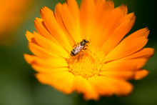 Bee On An Orange Flower In The Nature