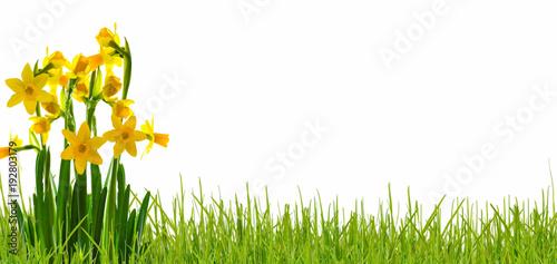 In de dag Narcis osterglocken wiese weisser hintergrund panorama