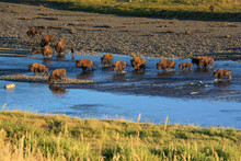 Buffalo Bison While Crossing A...