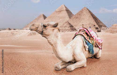 Egyptian camel with a saddle in the desert Tapéta, Fotótapéta