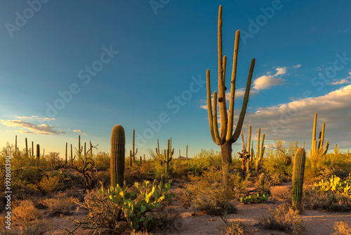 Aluminium Prints Cactus Landscape at Saguaro National Park at sunset, Tucson, Arizona, USA