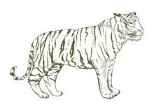 Illustration Of Tiger Drawing ...