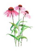Echinacea Plant Watercolor Ill...