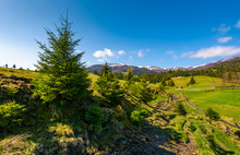 Spruce Trees Over The Grassy S...