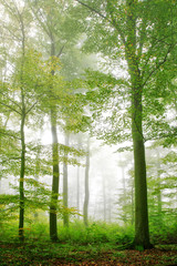 Fototapeta Popularne Foggy forest of beech trees