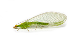 Green Lacewing  Chrysopidae Is...