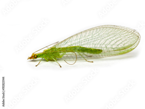 Fotografiet  Green lacewing  Chrysopidae isolated on a white background