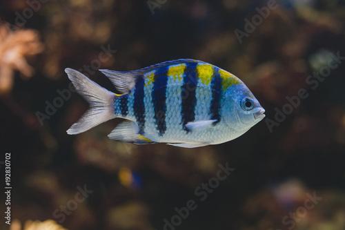 Aquarium fish - sergeant major or píntano. Abudefduf saxatilis. Canvas Print