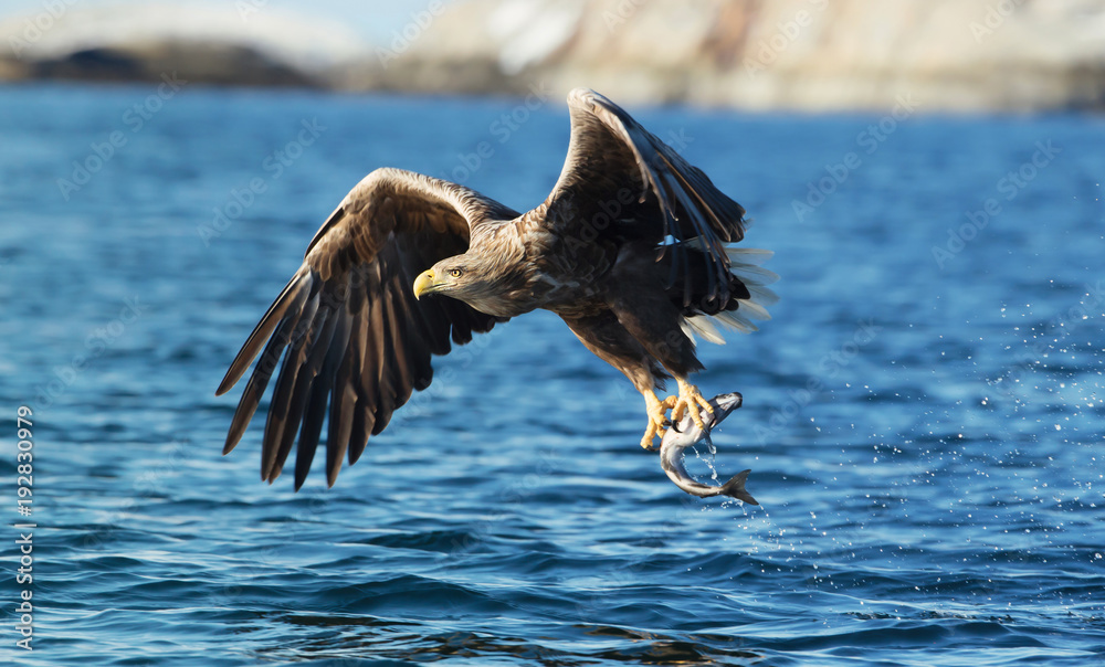 Close up of a White-tailed sea eagle catching a fish