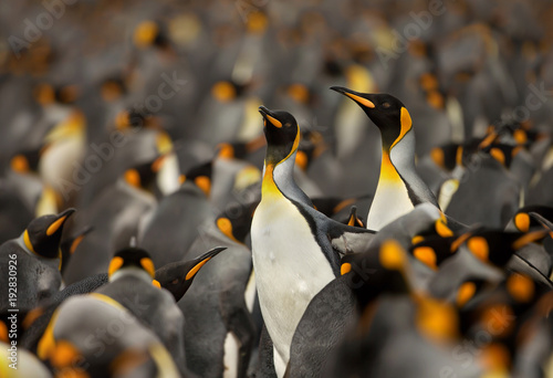 King penguin colony in the Falkland islands.